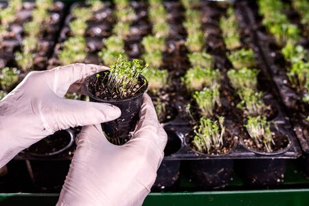 Gloved hands of greenhouse worker holding small black plastic pot with green tiny seedlings 스톡 콘텐츠
