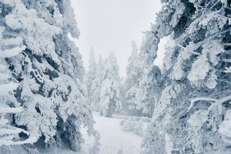 Long path running among snowy spruces in the forest after blizzard 版權商用圖片