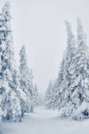 Row of snowy spruces growing in the forest all covered by snow after blizzard 版權商用圖片