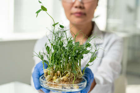 Gloved female laboratory worker or scientific researcher holding soy sprouts 版權商用圖片