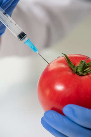 Gloved hands of contemporary scientific researcher injecting red ripe tomato