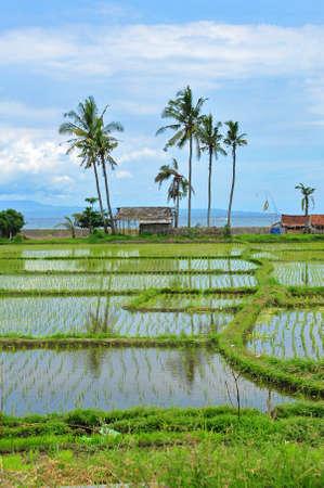 Paddy field beside the sea in Bali, Indonesia photo