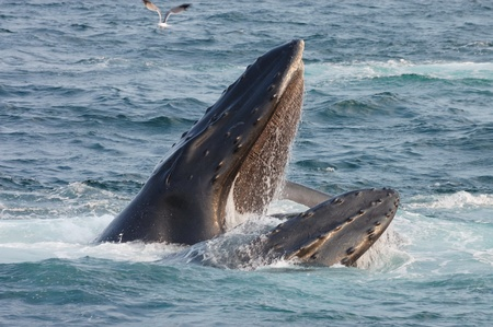 whale: Humpback whale opens its mouth Stock Photo