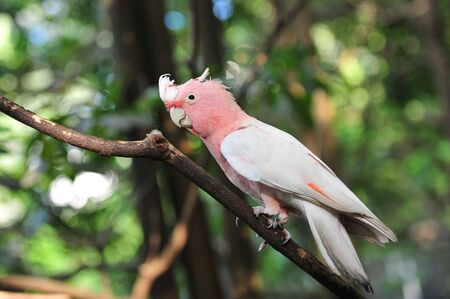 Pink and grey galah  rose-breasted cockatoo  on a tree photo