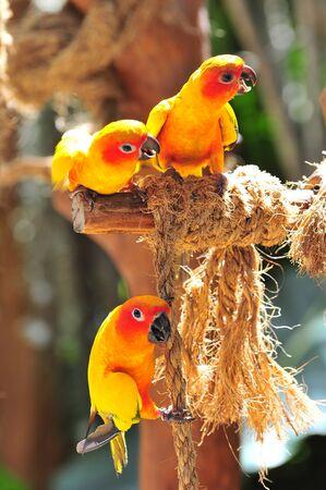Three bright orange sun conures on a perch photo