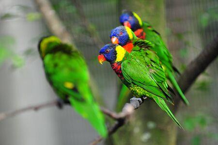 Colorful rainbow lorikeets on a tree Stock Photo - 13243054