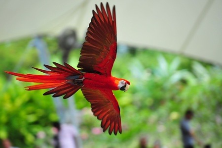 Vibrant scarlet macaw in flight photo