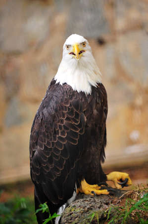 American bald eagle on alert Stock Photo - 13278267