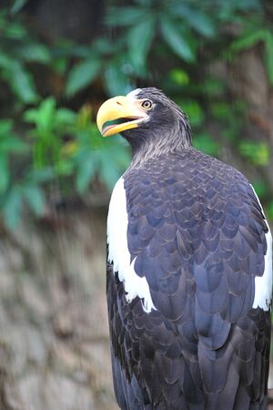 large bird: Steller s sea eagle, a large bird of prey Stock Photo
