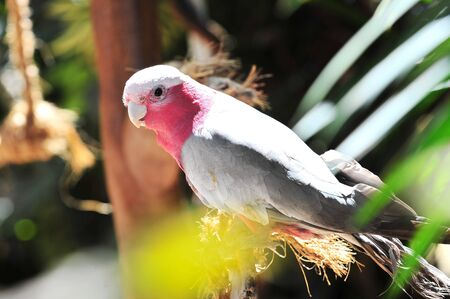 Pink and grey galah in the wild photo