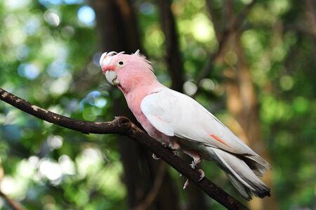 Pink and grey galah in the wild Stock Photo - 13278399