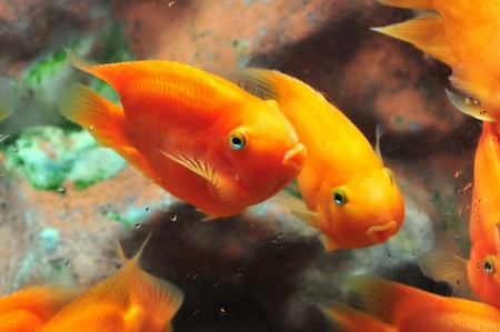 Bright orange Blood parrot cichlid photo