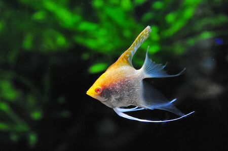 pterophyllum: Pterophyllum, commonly known as angelfish