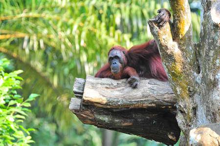orang: Orang Utan resting on a tree branch