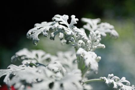 senecio: Macro of Silver dust or senecio plants