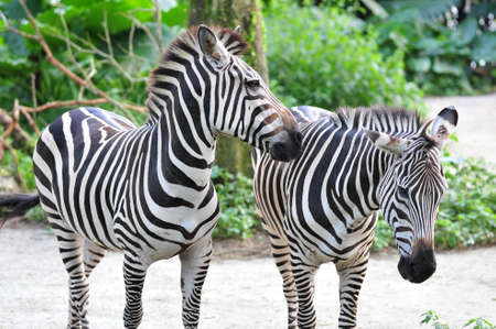 Young adult zebra nudging its companion