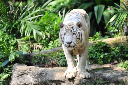 Rare Bengal white tiger staring at its prey photo