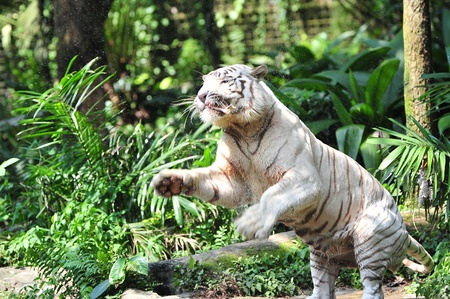 Rare Bengal white tiger jumping to catch its meal photo