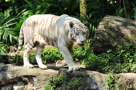 Rare white Bengal tiger pacing in its habitat photo
