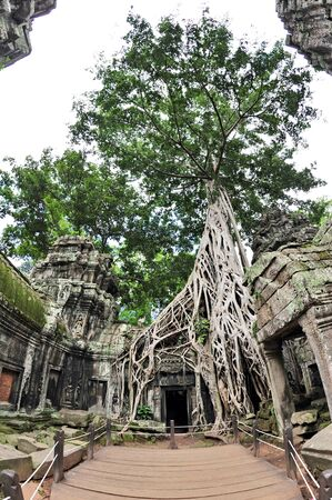 raider: Tall fig tree growing on the walls of Ta Prohm  also known as Tomb Raider  temple in Siem Reap, Cambodia