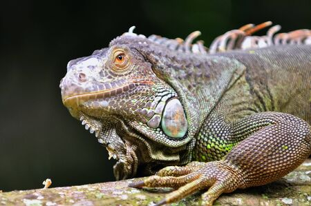 threatened: Rhinoceros Iguana  Cyclura cornuta , a threatened specie of lizard