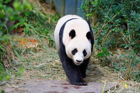 enclosure: Jia Jia the female panda walking in its enclosure  Stock Photo