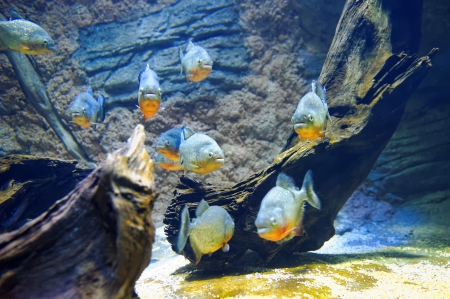 School of red-bellied piranha photo
