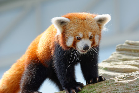 Endangered red panda in its habitat