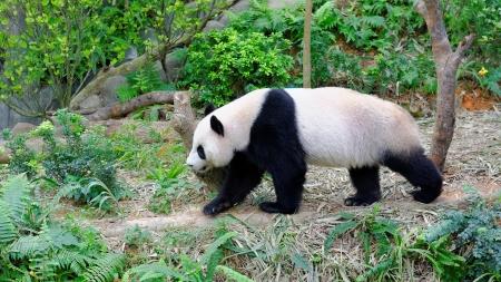 enclosure: Jia Jia the female panda walking in its enclosure in Singapore River Safari