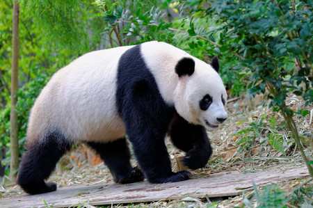 Jia Jia the female panda walking in its enclosure in Singapore River Safari