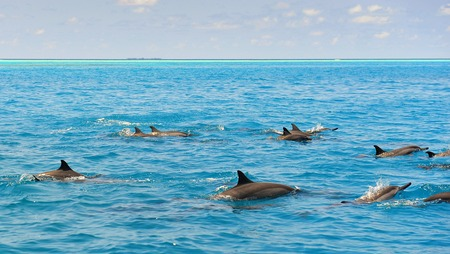 School of wild dolphiins swimming in the Laccadive sea of Maldives