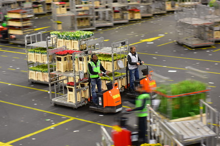 transact: AMSTERDAM - SEPTEMBER 22: Carts of flowers being sorted and moved at Aalsmeer FloraHolland, taken on September 22, 2014 in Amsterdam, Netherlands