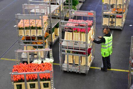 transact: AMSTERDAM - SEPTEMBER 22: A worker scanning a cart of flowers at Aalsmeer FloraHolland, taken on September 22, 2014 in Amsterdam, Netherlands Editorial