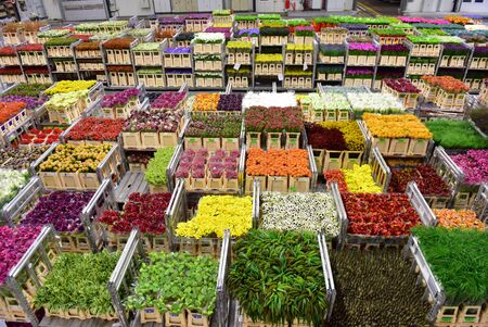 AMSTERDAM - SEPTEMBER 22: Carts of various variety of flowers staging at Aalsmeer FloraHolland, taken on September 22, 2014 in Amsterdam, Netherlands Editorial