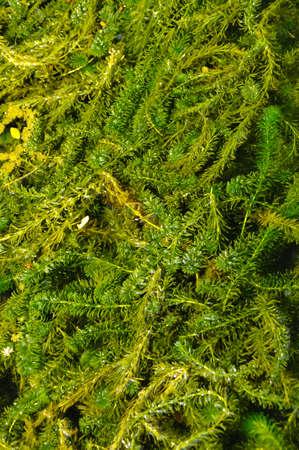 sea weed: Green sea weed at surface of water