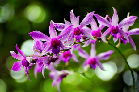 dews: Purple orchids with morning dews