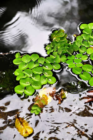 waxy: Waxy leaves on water Stock Photo