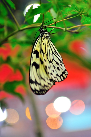 lea: Black and white butterfly hanging on a branch Stock Photo