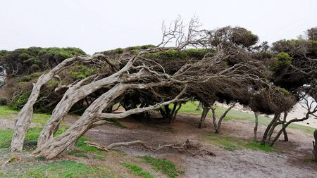 strong wind: Bent tree trunks caused by strong wind Stock Photo
