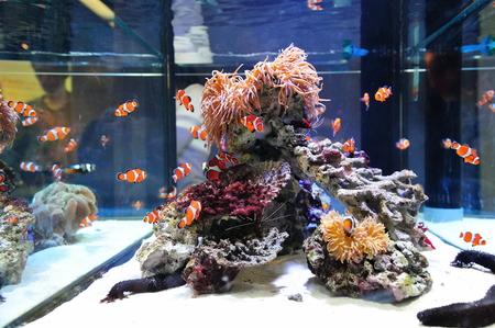 pez pecera: Clown peces que nadan en el acuario