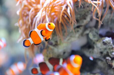 clown fish: Clown fish swimming in the corals Stock Photo