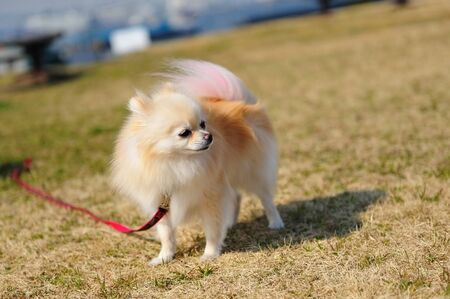 pink fur: Adorable puppy with well-groomed coat of brown and pink fur