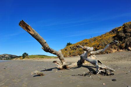 Beautiful KoeKohe beach and log at Otago coast of New Zealand. The beach is famous for the Moeraki boulders.