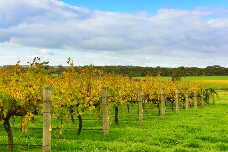 Neat rows of grape-bearing vines in a vineyard at Margaret River, Western Australia