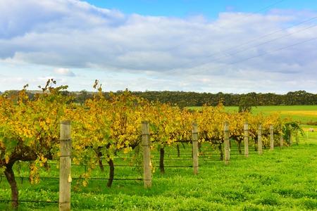 Keurige rijen van druiven-bearing wijnstokken in een wijngaard in Margaret River, West-Australië