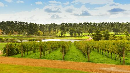 bodegas: Hileras de vides de uva que devengan en un viñedo en Margaret River, Australia Occidental