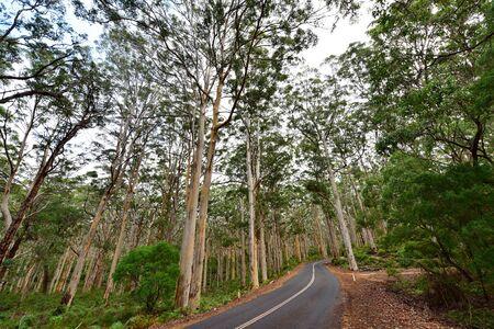 karri: Road passing through Boranup Karri Forest, famous for its towering karri trees