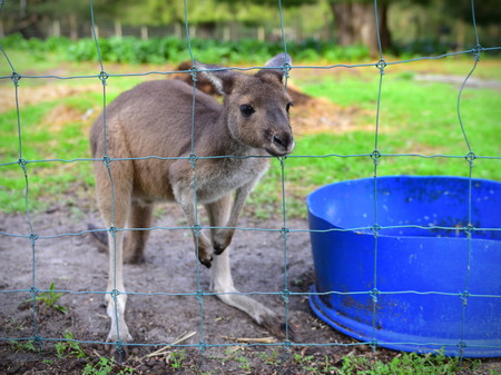 joey: Young joey in a farm