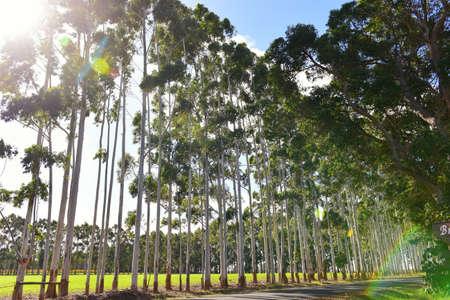 karri: Row of tall karri trees along the road in Western Australia