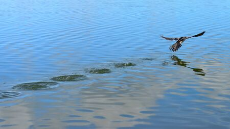 flapping: Bird flapping its wing to take-off from water surface